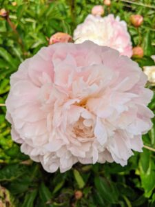 When using peonies for cut flowers, gather them early in the morning, and cut those whose buds are beginning to show color and feel similar to firm marshmallows. Always cut the stems at an angle and change the water daily.