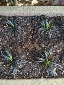 Black mondo grass tolerates a wide range of sun conditions, but the warmer the climate, the better it will do in shade.