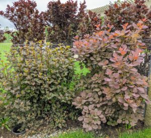 On the left is the Physocarpus, commonly called ninebark. It is an upright, spreading, somewhat coarse, deciduous, Missouri-native shrub which is closely related to the genus Spiraea. It boasts deep burgundy foliage with ovate to rounded, usually three to five-lobed leaves that are dull green in summer changing to an undistinguished yellow in fall. Then its color veers toward bronzy red by the time the leaves fall in late November.