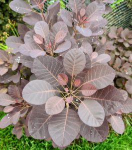 I love its leaves. I have many smoke bushes around the farm – it is among my favorite small trees. These can grow to a moderate size – up to 15-feet tall and 10-feet wide.