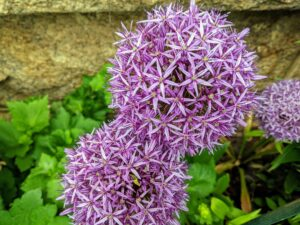 Cheryl took several photos of the spring flowers now blooming at Skylands. These alliums are growing in front of the Living Hall windows. Allium species are herbaceous perennials with flowers produced on scapes. They grow from solitary or clustered bulbs.