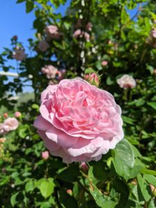 Here's another beautiful and bright pink rose. I hope your garden is also doing wonderfully this season. Share what blooms you are growing in the comments section below. And, have a happy first day of summer.