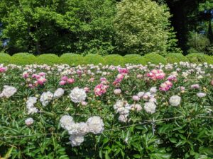 Here, the beds are covered with beautiful blooming peonies. Herbaceous peonies grow two to four feet tall with sturdy stems and blooms that can reach up to 10-inches wide. We spaced the plants about three to four feet apart to avoid any competing roots.