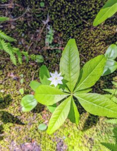 The starflower, Lysimachia borealis, is a North American woodland perennial that blooms between May and June.