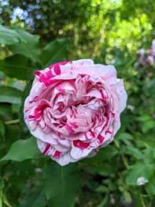 And one of my favorites is the swirled 'Variegata di Bologna' with its large, cupped flowers and petals of creamy white cleanly striped with purple crimson. It is one of the most striking of the striped roses providing a fantastic display in any garden.
