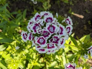 There are numerous types of dianthus – most have pink, red, or white flowers with notched petals. The plants are small and usually between six and 18-inches tall.