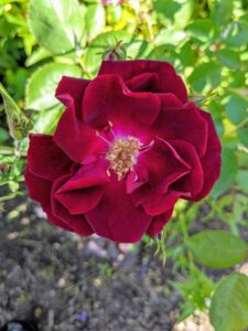 And here's one in deep red with delicate ruffled petals.
