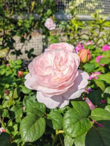 Many of these roses are old fashioned and antique varieties. They include: 'Alchymist', 'Boule de Neige', 'Cardinal de Richelieu', 'Charles de Mills', 'Constance Spry', 'Dainty Bess', 'Pierre de Ronsard', 'Ferdinand Pichard', Konigin von Danemark', Louise Odier', Madame Alfred Carriere', 'the Reeve', 'Pearlie Mae', and 'Sweet Juliet'.