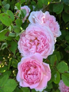When selecting a location, plant roses in a sunny spot with good drainage. Fertilize them regularly and water them evenly to keep the soil moist.