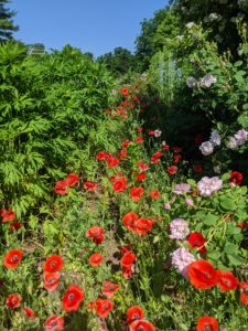 One of the big features this week are the poppies.