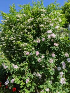 Rose plants range in size from compact, miniature roses, to climbers that can reach several feet in height.