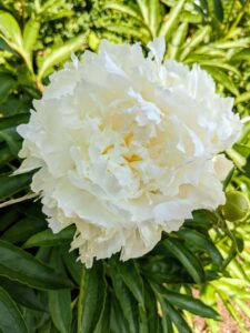 Peonies usually bloom quite easily. Be sure to always plant the eyes, the points at which new growth emerges, no more than two inches deep. Also, be sure the plants get at least six hours of full sun per day.