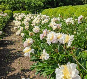 Peonies make wonderful sentinels in the garden or lined on walkways. After the bloom fades, its bushy clump of glossy, green leaves lasts the rest of summer.