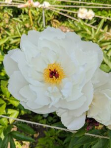 This is 'Star Power'. It has pure white, large blossoms with bold round guard petals and red tipped stigmas.