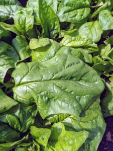 Look at the big leaf spinach we're growing this year. The leaves are so beautiful and so very tender and tasty.