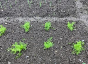 We planted the fennel earlier this week. Fennel is high in vitamin C and has been used as an herbal remedy for digestive issues for many thousands of years. In addition, its delicate, green fronds are aesthetically pleasing, making fennel an excellent addition to any garden.