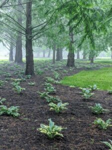 We planted this large area with hundreds of hosta plants last April. They are under a grove of dawn redwoods, Metasequoia. Hostas are a perennial favorite. Their lush green foliage varying in leaf shape, size, and texture, and their easy care requirements make them ideal for so many gardens.