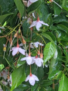 Here are the bell-shaped flowers of the 'Marley's Pink Parasol' Japanese Snowbells. These lightly-scented nodding pink bell-shaped flowers hang below the branches from mid to late spring.