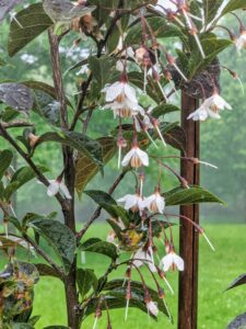 And these are the blooms on the Styrax japonicus 'Evening Light' - purple trees with fragrant, white, bell-shaped flowers.