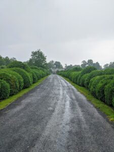 Hard to see in this photo, but it is pouring rain over the Boxwood Allee. The boxwood is very green. I take excellent care of these specimens. A few weeks ago, I sprayed all the hundreds of boxwood on the farm with TopBuxus Health Mix, which prevents the fungal disease called box blight and provides the plants with rich nutrients that restore new green leaves and strong branch growth.