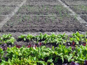 In the foreground are the beets, and just behind are the beds of onions. We planted a lot of white, yellow and red onions. Onions are harvested later in the summer when the underground bulbs are mature and flavorful. I always look forward to the onion harvest.