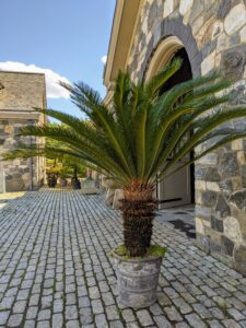 Some tropicals are also displayed in the stable courtyard. The sago palm, Cycas revoluta, is a popular houseplant known for its feathery foliage and ease of care. Sago palms prefer to be situated in well-drained soil, and like other cycad plants, do not respond well to overwatering.