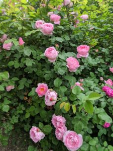 I've also added roses from Northland Rosarium, including 'Night Owl', Poseidon', 'Quick Silver', 'Colette', 'Cecile Brunner', 'Ebb Tide', 'Jeannie Lajoie', Lykkefund', 'Veilchenblau', and 'Geschwind's Most Beautiful'.