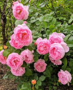 Rose bushes need six to eight hours of sunlight daily. In hot climates, roses do best when they are protected from the hot afternoon sun. In cold climates, planting a rose bush next to a south or west-facing fence or wall can help minimize winter freeze damage.