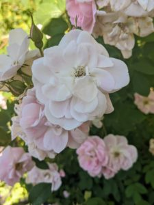 And don't forget all my many roses in this flower garden - they're still looking so stunning. I have roses in a variety of colors including shades of pink, apricot, white, and yellow.