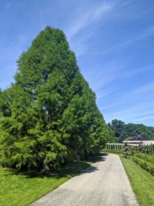 Here is the carriage road to my home – with the beautiful bald cypress trees on the left.