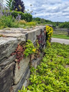 On the side of my stone wall, the growing sedum that develops more beautifully every year. We first planted this wall in 2012.