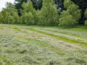 In this photo, one can see the fluffed hay on the left and the hay waiting to be fluffed on the right.