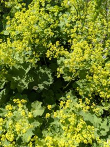 In this garden, I grow Lady's mantle, Alchemilla vulgaris, along both sides of the main path. It is a clumping perennial which typically forms a mound of long-stalked, circular, scallop-edge light green leaves, with tiny, star-shaped, chartreuse flowers.