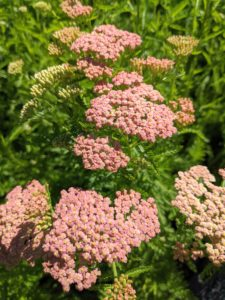 The hardy yarrow plant is long-lasting and attracts scores of pollinators while in bloom.