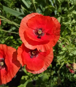 Poppies are an attractive, easy-to-grow flower in both annual and perennial varieties.