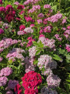 Dianthus flowers belong to a family of plants which includes carnations and are characterized by their spicy fragrance. Dianthus plants may be found as a hardy annual, biennial, or perennial and most often used in borders or potted displays.