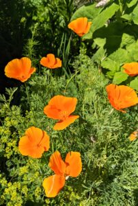 These are California poppies, a short-lived perennial, named the official state flower in 1903.