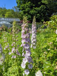 These are also quite pretty - delphinium in a light lavender color.