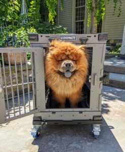 And here is my dear boy, Emperor Han, trying the crate out for size. This 40-inch crate is perfect for my Chow Chow. The Impact Dog Crate is safe and secure and ready for the next big road trip.