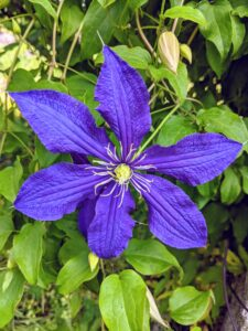 The standard clematis flower has six or seven petals, measuring five to six inches across. Colors range from deep purple to lavender, white to wine red, and even a few in yellow.