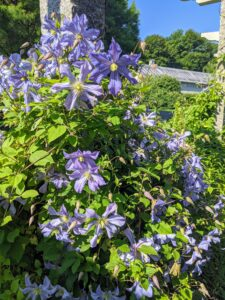 The timing and location of clematis flowers vary. Spring-blooming clematis flower on side shoots of the old season's stems. Summer and fall blooming vines flower on the ends of only new stems.