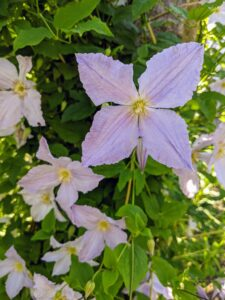 It can take several years for a clematis vine to mature and begin flowering prolifically. To shorten the wait, purchase a plant that's at least two years old.