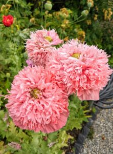 Poppies are attractive, easy-to-grow herbaceous annual, biennial or short-lived perennial plants.