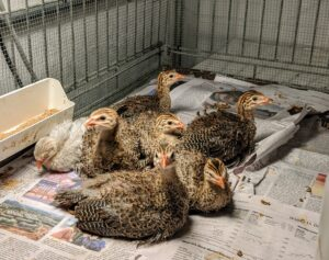 Most recently, we hatched seven beautiful baby Guinea fowl or keets.