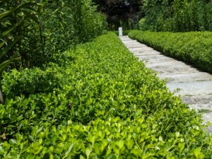 English boxwood is more sensitive than its American cousin and gets carefully wrapped with burlap every winter. I lined both sides of the path with a low boxwood hedge and then larger shrubs within the garden.
