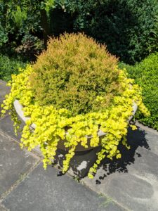 This thuja is planted with bright, lime green Lysimachia - a low-growing, creeping ground cover which forms a leafy mat about two to four inches tall.