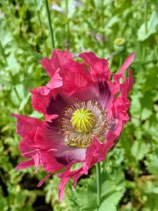 And this reddish poppy with a dark purple center is still unfurling.