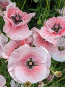 These poppies have delicate light pink petals with darker pink centers. Poppies have lobed or dissected leaves and milky sap.