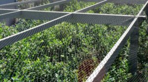 The netting covers the blueberry bushes on all sides and on the top. I use a durable plastic bird netting, which can be reused every season for several years.