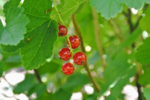 The red currants can range from deep red to pink to almost yellow in color.